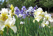 Iris and Lily Garden